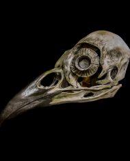 crow (4)