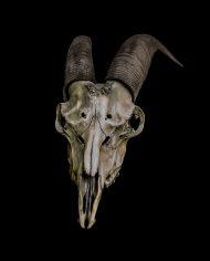 goat (4)
