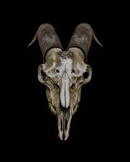 goat (9)